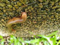 Μαλακή εστίαση millipede ή millipede στην πέτρα Στοκ εικόνα με δικαίωμα ελεύθερης χρήσης