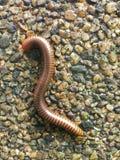 Μαλακή εστίαση millipede ή millipede στην πέτρα Στοκ Εικόνες