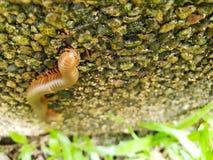 Μαλακή εστίαση millipede ή millipede στην πέτρα Στοκ Φωτογραφίες
