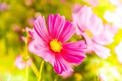 Μαλακή θαμπάδα των λουλουδιών κόσμου Στοκ φωτογραφίες με δικαίωμα ελεύθερης χρήσης