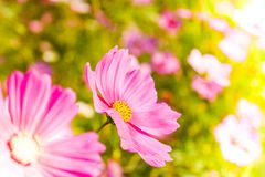 Μαλακή θαμπάδα των λουλουδιών κόσμου Στοκ Φωτογραφία