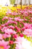 Μαλακή θαμπάδα των λουλουδιών χρυσάνθεμων Στοκ εικόνες με δικαίωμα ελεύθερης χρήσης