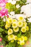 Μαλακή θαμπάδα των λουλουδιών χρυσάνθεμων Στοκ Εικόνες