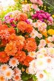 Μαλακή θαμπάδα των λουλουδιών χρυσάνθεμων Στοκ Φωτογραφία
