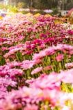 Μαλακή θαμπάδα των λουλουδιών χρυσάνθεμων Στοκ Εικόνα