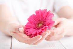 Μαλακή τρυφερή προστασία για τις κρίσιμες ημέρες γυναικών, γυναικολογικός κύκλος εμμηνόρροιας, ρόδινο gerbera υπό εξέταση στοκ φωτογραφίες