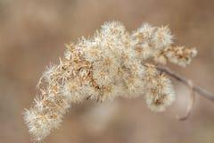 Μαλακός ξηρός κλάδος των χνουδωτών λουλουδιών μετά από το χειμώνα την πρώιμη άνοιξη Στοκ Φωτογραφίες