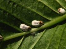 Μαλακό έντομο κλίμακας (Pulvinaria SP) Στοκ Φωτογραφίες