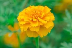 Μαλακό λεμόνι - κίτρινο marigold Στοκ εικόνες με δικαίωμα ελεύθερης χρήσης