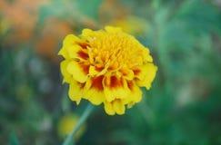 Μαλακό λεμόνι - κίτρινο marigold Στοκ φωτογραφίες με δικαίωμα ελεύθερης χρήσης