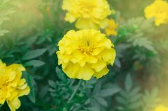 Μαλακό λεμόνι - κίτρινο marigold Στοκ Εικόνες