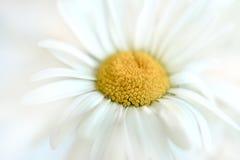 μαλακό λευκό μαργαριτών Στοκ φωτογραφία με δικαίωμα ελεύθερης χρήσης