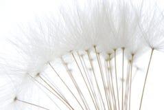 μαλακό λευκό σπόρων πικραλίδων στοκ φωτογραφία