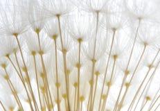 μαλακό λευκό σπόρων πικρα&l στοκ φωτογραφία