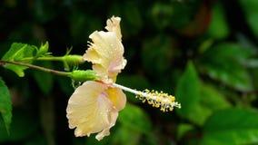 Μαλακό πορτοκαλί hibiscus λουλούδι μετά από τη βροχή απόθεμα βίντεο