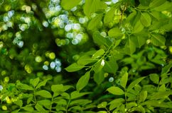 Μαλακό φως ήλιων μέσω του φυλλώματος των δέντρων στη μαλακή εκλεκτική εστίαση στο κλίμα του μουτζουρωμένων φυλλώματος και του μπλ στοκ εικόνες