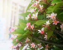 Μαλακό plumeria θαμπάδων, λουλούδια frangipani στο δέντρο Στοκ Φωτογραφία