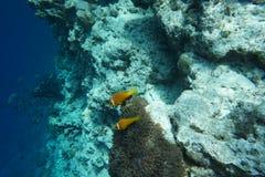 Μαλδίβες anemonefish Amphiprion nigripes Στοκ φωτογραφία με δικαίωμα ελεύθερης χρήσης