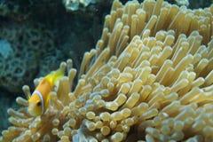 Μαλδίβες anemonefish Amphiprion nigripes Στοκ Εικόνα