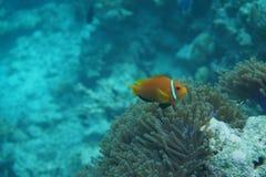 Μαλδίβες anemonefish Amphiprion nigripes Στοκ εικόνες με δικαίωμα ελεύθερης χρήσης