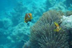 Μαλδίβες anemonefish Amphiprion nigripes Στοκ Φωτογραφία