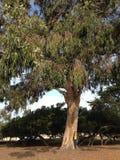 Μαμμούθ δέντρο Σαν Φρανσίσκο Στοκ φωτογραφίες με δικαίωμα ελεύθερης χρήσης