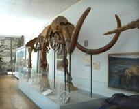 Μαμμούθ σκελετός Στοκ φωτογραφίες με δικαίωμα ελεύθερης χρήσης