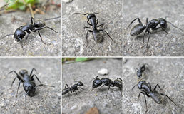 μαμούθ μυρμηγκιών Στοκ φωτογραφίες με δικαίωμα ελεύθερης χρήσης