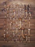 Μανιτάρια αγαρικών μελιού στο σκοτεινό ξύλινο υπόβαθρο Στοκ εικόνες με δικαίωμα ελεύθερης χρήσης