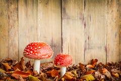 Μανιτάρια αγαρικών μυγών σε ένα παλαιό ξύλινο κλίμα Στοκ φωτογραφίες με δικαίωμα ελεύθερης χρήσης