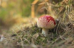 Μανιτάρια αγαρικών μυγών στο δάσος φθινοπώρου Στοκ εικόνα με δικαίωμα ελεύθερης χρήσης