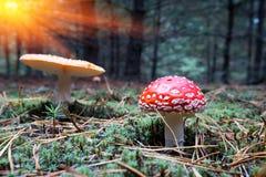 Μανιτάρια αγαρικών μυγών της Νίκαιας στο δάσος Στοκ Φωτογραφία