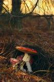 Μανιτάρια αγαρικών μυγών Στοκ Φωτογραφίες