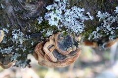 Μανιτάρια και κοτσίδα σε έναν κορμό δέντρων στοκ εικόνες