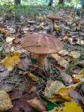 Μανιτάρια και τα βακκίνια επιλογής στο δάσος το πρώιμο φθινόπωρο Τελευταίες ηλιόλουστες θερινές ημέρες Τα μανιτάρια και τα μούρα  στοκ εικόνες