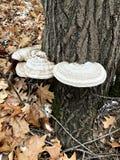 Μανιτάρια καλλιτεχνών ή Conk που αυξάνονται σε ένα δρύινο δέντρο στοκ εικόνες με δικαίωμα ελεύθερης χρήσης