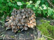 Μανιτάρια μελανιού (micaceus Coprinus) Στοκ Εικόνες