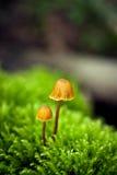 μανιτάρια μικροσκοπικά δύ&om Στοκ Εικόνα