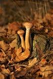 Μανιτάρια, μύκητας μελιού & x28 Armillaria& x29  φθινόπωρο Στοκ φωτογραφία με δικαίωμα ελεύθερης χρήσης