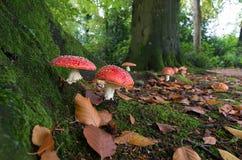 Μανιτάρια στο δάσος Στοκ Εικόνα