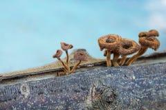 Μανιτάρια στο δέντρο πεύκων, τρόφιμα από τη φύση. Στοκ Εικόνες