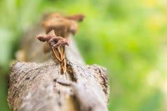Μανιτάρια στο δέντρο πεύκων. Στοκ Εικόνες