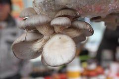 Μανιτάρια στρειδιών Ostreatus Pleurotus Το μανιτάρι στρειδιών είναι ένα κοινό εδώδιμο μανιτάρι Καλλιέργεια μανιταριών Στοκ Εικόνα