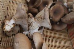 Μανιτάρια στρειδιών Ostreatus Pleurotus Το μανιτάρι στρειδιών είναι ένα κοινό εδώδιμο μανιτάρι Καλλιέργεια μανιταριών Στοκ φωτογραφίες με δικαίωμα ελεύθερης χρήσης
