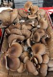 Μανιτάρια στρειδιών Ostreatus Pleurotus Το μανιτάρι στρειδιών είναι ένα κοινό εδώδιμο μανιτάρι Καλλιέργεια μανιταριών Στοκ εικόνα με δικαίωμα ελεύθερης χρήσης