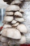 Μανιτάρια στρειδιών Ostreatus Pleurotus Το μανιτάρι στρειδιών είναι ένα κοινό εδώδιμο μανιτάρι Καλλιέργεια μανιταριών Στοκ Φωτογραφίες
