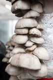 Μανιτάρια στρειδιών Ostreatus Pleurotus Το μανιτάρι στρειδιών είναι ένα κοινό εδώδιμο μανιτάρι Καλλιέργεια μανιταριών Στοκ εικόνες με δικαίωμα ελεύθερης χρήσης