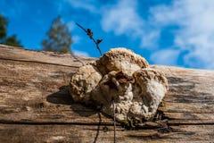 μανιτάρια του δάσους με το μπλε ουρανό Στοκ φωτογραφίες με δικαίωμα ελεύθερης χρήσης