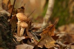 Μανιτάρια, φθινόπωρο Armillaria μυκήτων μελιού Στοκ εικόνες με δικαίωμα ελεύθερης χρήσης