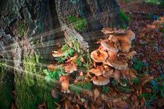 Μανιτάρια Armillaria στα ξύλα Στοκ Εικόνες
